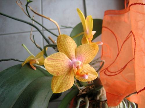 Orchidee die irgendwo im bad steht sieht echt wunderschön aus bei
