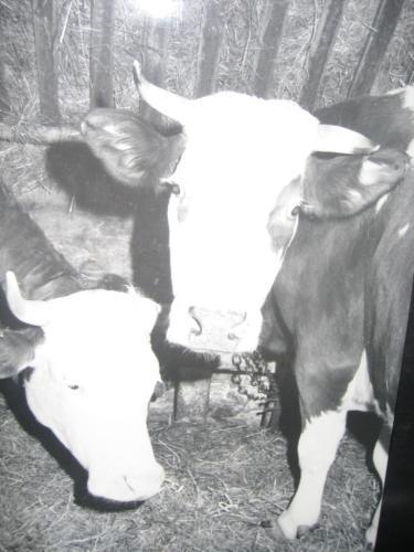 Kühe Schwarz Weiß