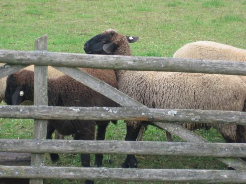 Schafe Zaun